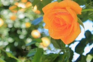 緑とバラの写真・画像素材[1170780]