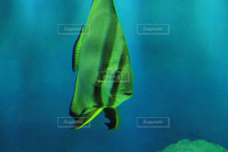 水面下を泳ぐ魚たちの写真・画像素材[1312716]
