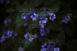 紫色の花のクローズアップの写真・画像素材[3459132]