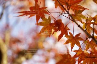 秋,紅葉,京都,もみじ