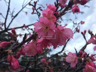 桜,さくら