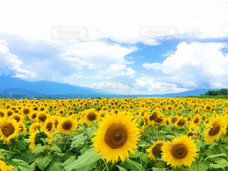 山梨県明野ひまわり畑の写真・画像素材[1097464]