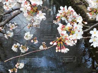花,桜,ピンク,川,河,ex.東京都神田川