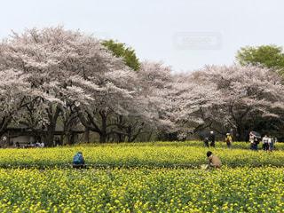 桜と菜の花のコラボレーションの写真・画像素材[1122023]