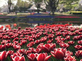 チューリップと対岸の花の写真・画像素材[1122033]