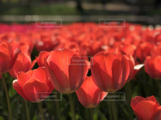 みんな大好き真っ赤なチューリップの写真・画像素材[1122038]