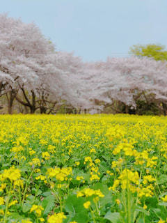 桜と菜の花の写真・画像素材[1122055]