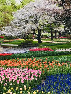 桜とチューリップの写真・画像素材[1122148]