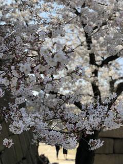 桜を背に旅立つ2人の写真・画像素材[1087823]