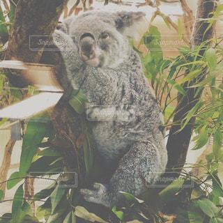 枝にコアラの写真・画像素材[1233932]