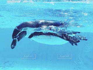 水体で泳ぐペンギンの写真・画像素材[1312715]