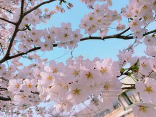 空,春,桜,晴れ,青空,青,桜並木,お花見,道,思い出,富山,春が来た,桜のカーテン
