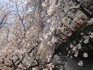 花,春,桜,ピンク,白,鮮やか,満開,樹木,祭り,目黒川,桜吹雪,中目黒,チェリー,都心,賑わい