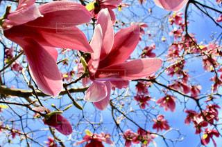 木の赤い花の写真・画像素材[1118187]