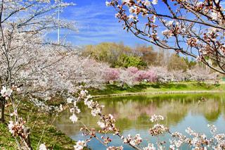 桜,大阪,お花,お花見,鶴見緑地