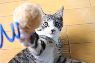 カメラを見ている猫の写真・画像素材[1255507]