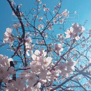 青空と桜の写真・画像素材[1096163]