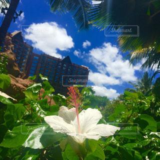 ハワイのハイビスカスの写真・画像素材[1097672]