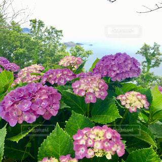 海岸の紫陽花群の写真・画像素材[1110297]