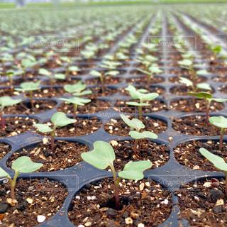 緑,野菜,ハート,土,キャベツ,農業,みどり,♡,苗,双葉,芽吹き,ふたば