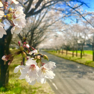 桜並木の写真・画像素材[1123090]