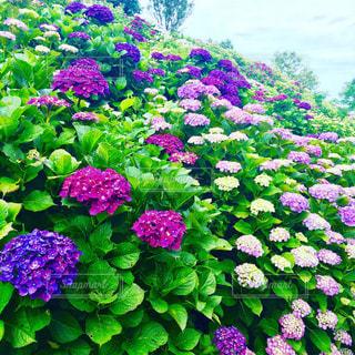 海岸に群れる紫陽花の写真・画像素材[1123237]