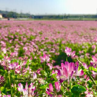 れんげ畑の写真・画像素材[1136986]