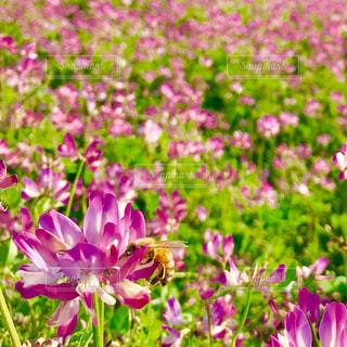 れんげ畑の写真・画像素材[1136991]