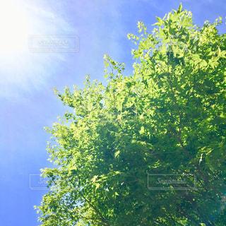 初夏の紅葉の写真・画像素材[1163815]