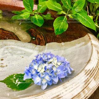 花,水,紫,紫陽花,ブルー,グリーン,休日,梅雨,鎌倉,お休み,明月院,紫陽花寺,水瓶