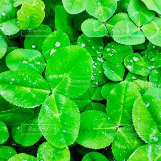 雨,緑,クローバー,雫,梅雨,雨粒