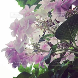雨,ピンク,紫陽花,梅雨,額紫陽花,淡い,淡い色合い