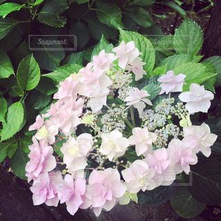 雨,ピンク,ハート,紫陽花,梅雨,額紫陽花,淡い色合い