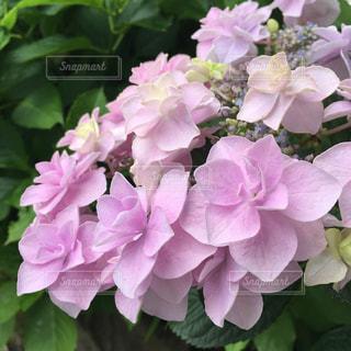雨,ピンク,紫陽花,アップ,梅雨,淡い色合い