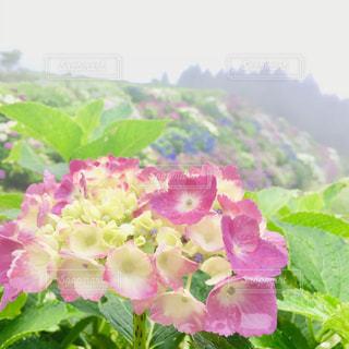 花,雨,ピンク,あじさい,景色,紫陽花,梅雨,淡い,淡い色合い,椎野あじさいロード