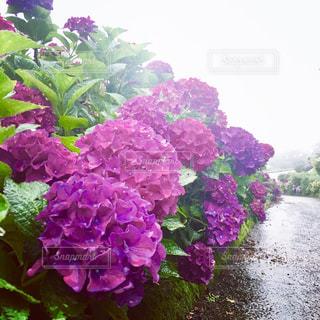 花,雨,あじさい,紫,景色,鮮やか,紫陽花,梅雨,椎野あじさいロード