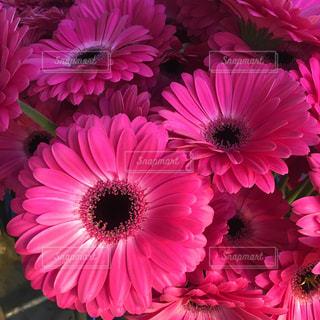 花,ピンク,お花,pink,ガーベラ