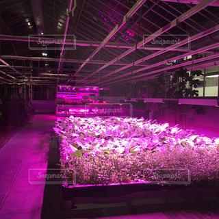 屋内,ピンク,紫,光,野菜,pink,植物工場
