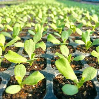 緑,野菜,芽,未来,レタス,農業,苗,若葉,活力,新芽,これから