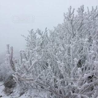 樹氷の写真・画像素材[1659899]