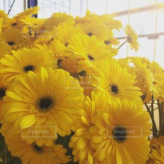 花,花束,黄色,鮮やか,光,ハウス,たくさん,温室,イエロー,ガーベラ,yellow