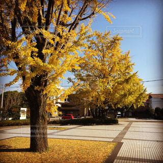 空,公園,秋,紅葉,木,屋外,青空,黄色,樹木,イチョウ,銀杏,イエロー,樹,落葉,yellow