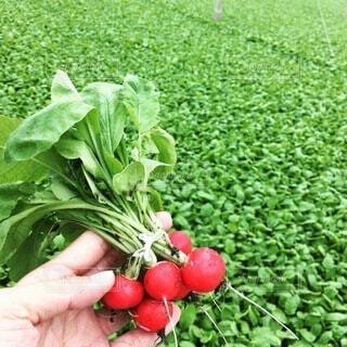 食べ物,緑,赤,手,野菜,ラディッシュ,食品,新鮮,畑,食材,採れたて,フレッシュ,ベジタブル,土付き