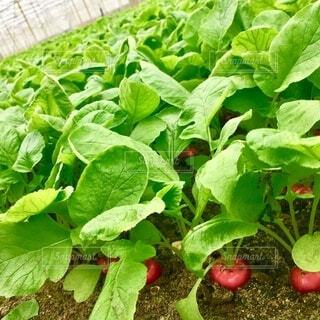 食べ物,緑,赤,葉,野菜,ラディッシュ,食品,畑,食材,フレッシュ,ベジタブル