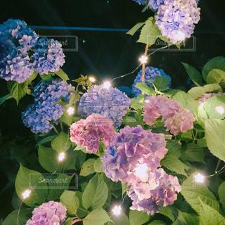 夜,雨,鮮やか,紫陽花,外,梅雨