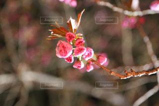 夜桜見物の写真・画像素材[1124088]