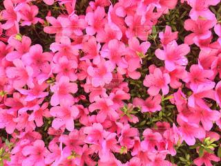 花,夏,ピンク,鮮やか,ツツジ,5月,pink,サツキ,サツキツツジ