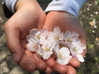 花,桜,ピンク,手,鮮やか,可愛い,桃色,pink,大事,大切,春色