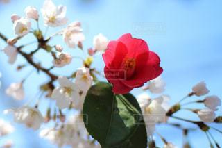 突然変異の赤い桜?の写真・画像素材[1137821]