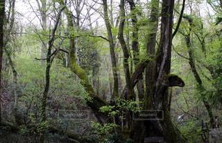 森の大きな木の写真・画像素材[1159056]